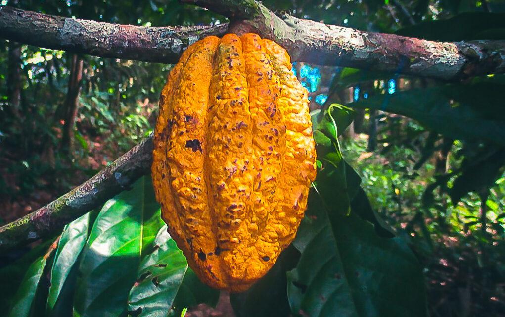 Comunidad nativa Puerto Luz logra cofinanciamiento para cultivar cacao nativo a través de Agroideas