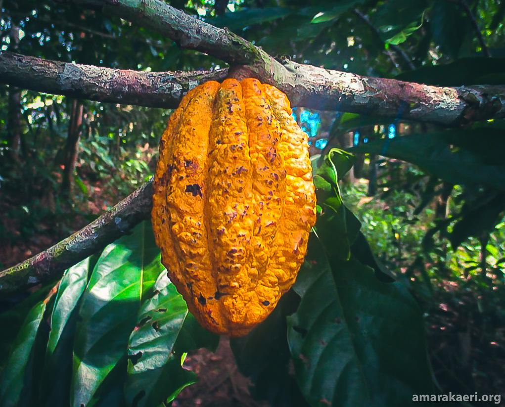 Existen 25 tipos de cacao nativo en el ámbito de la Reserva Comunal Amarakaeri. 14 de ellos se encuentran en el territorio de la comunidad Puerto Luz