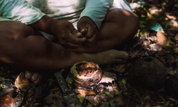 Cogestión de Amarakaeri: complementa la economía de cuatro comunidades socias con la comercialización de castaña