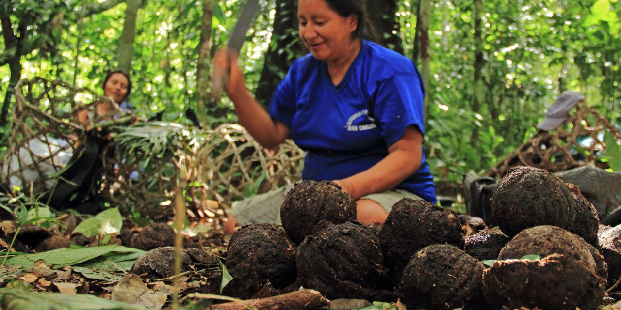 Aprovechamiento sostenible de castaña se fortalece en la Reserva Comunal Amarakaeri